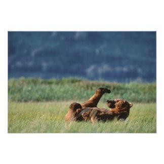 Osos de Brown en el juego, arctos del Ursus, Alask Impresion Fotografica