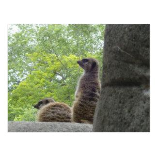 Otra postal de Meerkat
