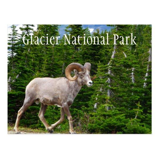 Ovejas de Bighorn, Parque Nacional Glacier, Postal