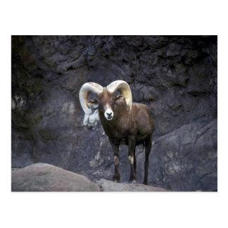 Ovejas de carnero con grandes cuernos del desierto postal