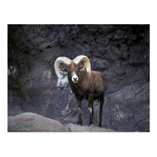 Ovejas de carnero con grandes cuernos del desierto tarjetas postales