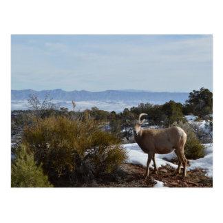 ovejas de carnero con grandes cuernos postal