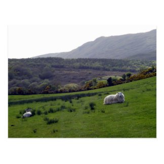 ovejas de Donegal Tarjetas Postales