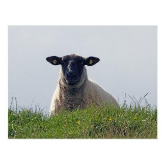 ovejas Negro-hechas frente Postal