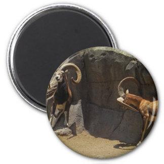 Ovejas salvajes de Mouflon que rasguñan 1 Iman Para Frigorífico