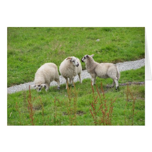 ovejas tarjetón