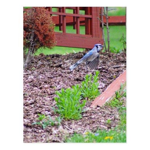 Pájaro azul 2 tarjetas postales