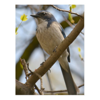 Pájaro azul bonito tarjetas postales