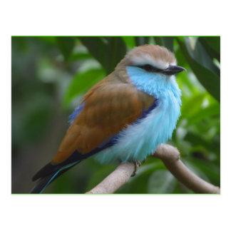 Pájaro: Brown hermoso y pájaro azul Postal