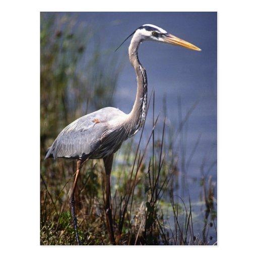 Pájaro de agua de la garza de gran azul encontrado tarjetas postales