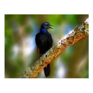 Pájaro del azul de Starling del pájaro cantante Postal