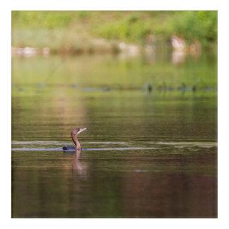 Pájaro del cormorán que nada pacífico impresión acrílica