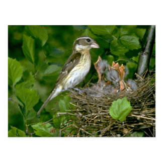 Pájaro del Rosa-breasted (femenino) con los jóvene Postal