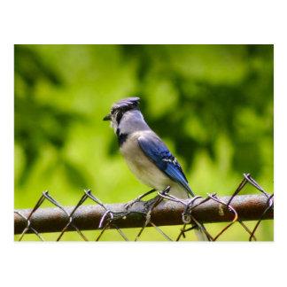 Pájaro hermoso del arrendajo azul tarjeta postal