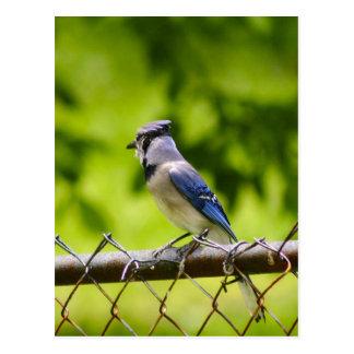 Pájaro hermoso del arrendajo azul postal