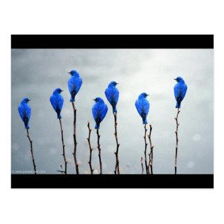 Pájaros azules postal