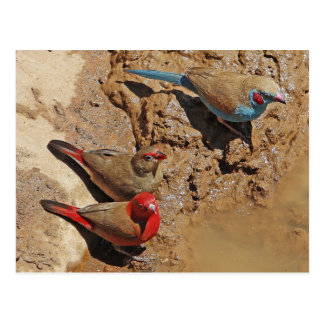 Pájaros azules y rojos postal