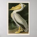 Pájaros de John James Audubon del pelícano blanco Póster