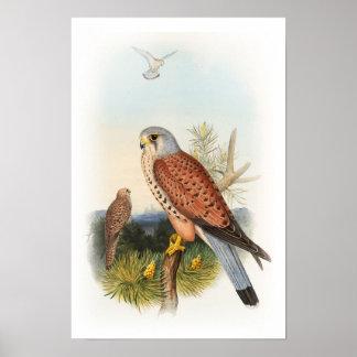 Pájaros de Juan Gould del halcón del cernícalo de Póster