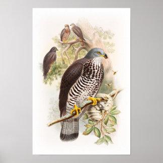 Pájaros de Juan Gould del Miel-Halcón de Gran Póster