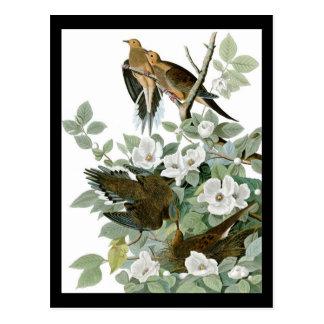 Paloma de luto de la paloma de John James Audubon  Tarjeta Postal