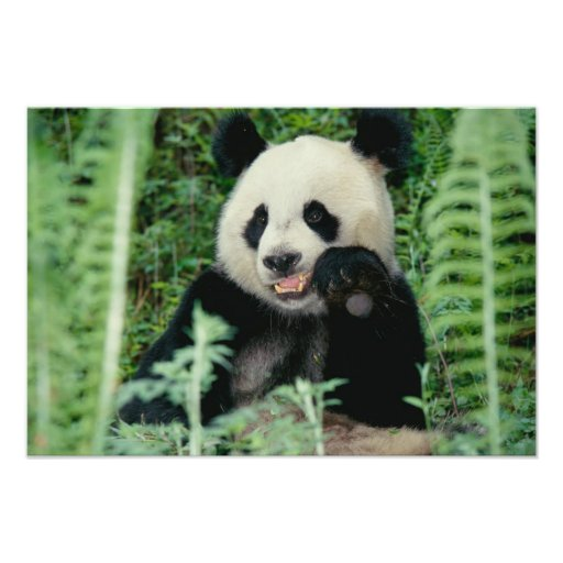 Panda el bosque, Wolong, Sichuan, China Arte Fotográfico