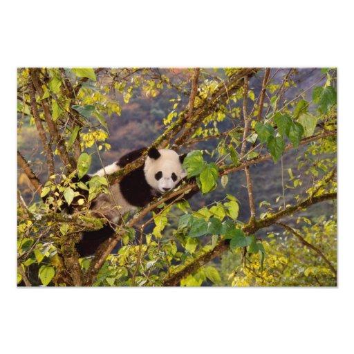 Panda en árbol con el follaje del otoño, Wolong, Fotografía