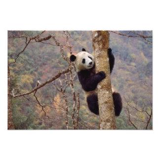 Panda en el árbol Wolong Sichuan China Impresión Fotográfica