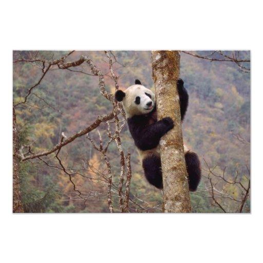 Panda en el árbol, Wolong, Sichuan, China Impresion Fotografica