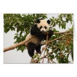 Panda. gigante joven tarjetón