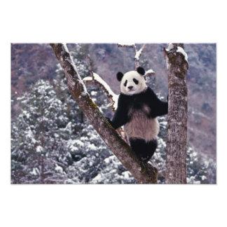 Panda gigante que se coloca en el árbol, Wolong, S Foto