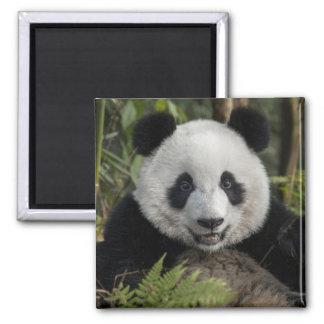 Panda joven feliz, China Imán