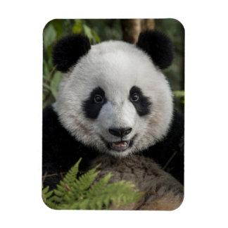 Panda joven feliz, China Imán Flexible