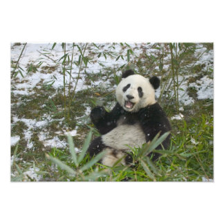 Panda que come el bambú en la nieve, Wolong, Sichu Impresion Fotografica
