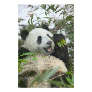 Panda que come el bambú en la nieve, Wolong, Sichu Fotografías