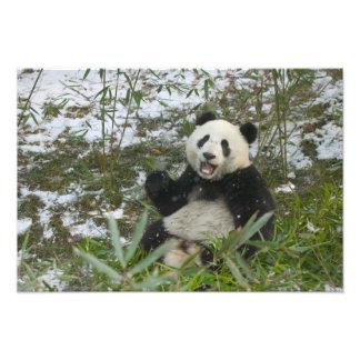 Panda que come el bambú en la nieve, Wolong, Sichu Cojinete