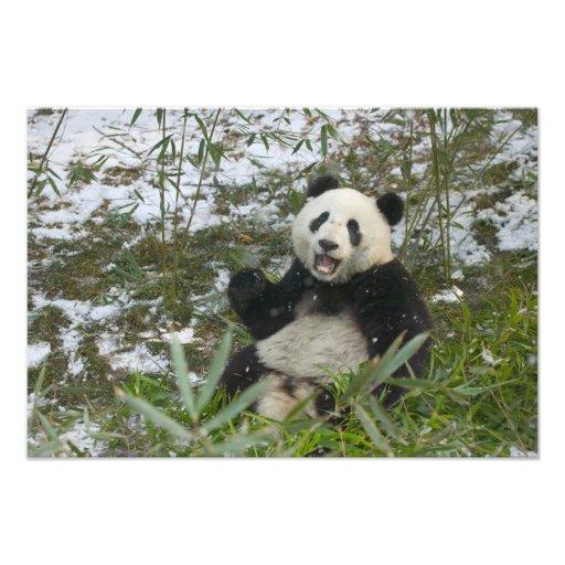 Panda que come el bambú en la nieve, Wolong, Sichu Fotos