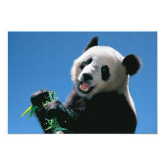 Panda que come el bambú, Wolong, Sichuan, China Impresiones Fotograficas