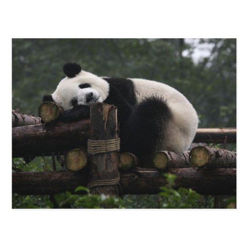 Pandas gigantes en la protección y los 3 de la pan postal