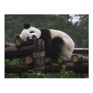 Pandas gigantes en la protección y los 3 de la postal