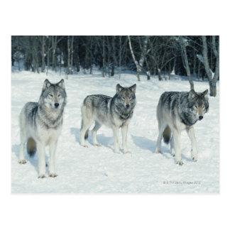 Paquete de lobos en el borde del bosque nevoso postal