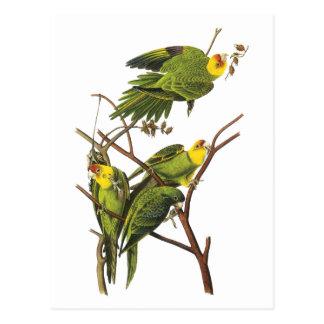 Parakeet - por Juan Audubon Postal