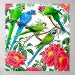 Parakeets y impresión de los Peonies Posters