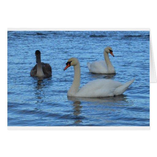 Pares de cisnes adultos con Juvenile.jpg Tarjeton