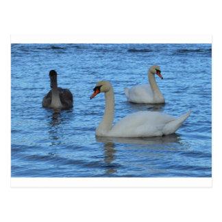 Pares de cisnes adultos con Juvenile jpg Postal