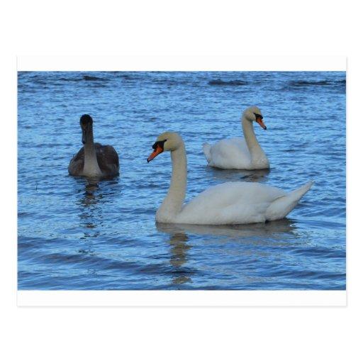 Pares de cisnes adultos con Juvenile.jpg Postal