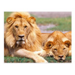 Pares de leones africanos, Panthera leo, Tanzania Postal