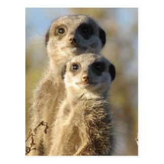 Pares de Meerkats Postal