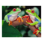 Pares de Red Eye Treefrog, callidryas de Agalychin Posters