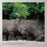 Pares de Rhinos Poster
